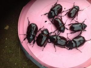 Beetlesonbucket-
